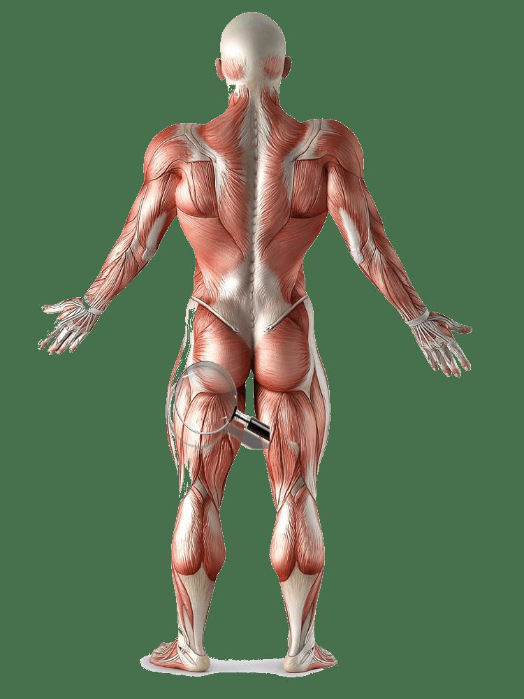 Анатомия нижних конечностей