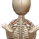 Задняя лестничная мышца