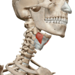 Щитовидно-подъязычная