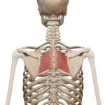 Большая ромбовидная мышца
