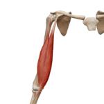 Двуглавая мышца бицепс