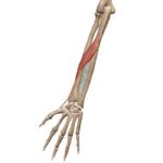 Длинная мышца, отводящая большой палец
