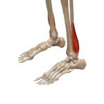 Короткая малоберцовая мышца