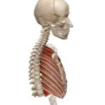 Межреберные внутренние мышцы