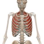 Межреберные наружные мышцы