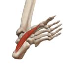 Мышца, отводящая большой палец