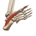 Мышца, приводящая большой палец