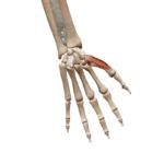 Мышца, противопоставляющая большой палец