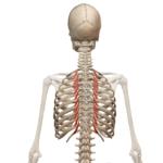 Поднимающие ребра