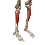 Передняя большеберцовая мышца