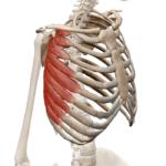 Передняя зубчатая мышца
