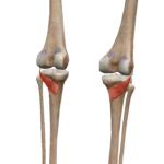 Подколенная мышца