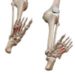Подошвенные межкостные мышцы