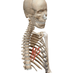 Подреберные мышцы