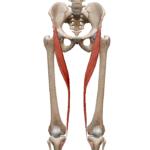 Портняжная мышца