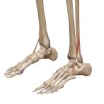Третья малоберцовая мышца