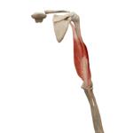 Трёхглавая мышца трицепс