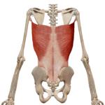 Широчайшая мышца спины