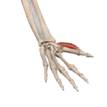 Короткая мышца, отводящая большой палец