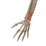 Разгибатель указательного пальца