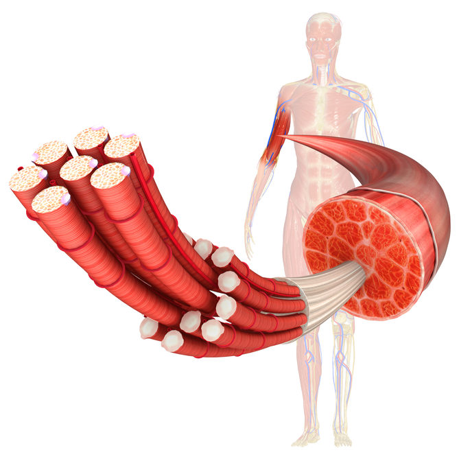 Внутри мышцы